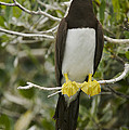 Brown Booby, Sula Leucogaster by Tim Laman