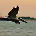 Brown Pelican by Jan Canavan