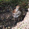 Brown Thrasher by Lori Tordsen