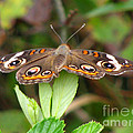 Buckeye Butterfly by Donna Brown