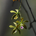 Butterfly Orchid by Barbara Bowen
