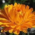 Calendula Named Bon-bon Orange by J McCombie