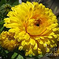 Calendula Named Bon-bon Yellow by J McCombie