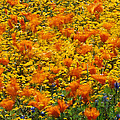 California Poppies And Goldfields Dance by Jonathan Blair