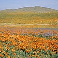 California Poppies Fill A Landscape by Rich Reid