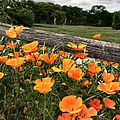 California Poppies by Sally Bauer