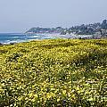 California Wildflowers by Daniel  Knighton