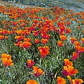 Californian Poppies (eschscholzia) by Bob Gibbons