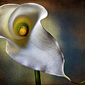 Calla Lily by Endre Balogh