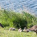 Canada Geese by Dawn OConnor