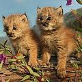 Canadian Lynx Kittens, Alaska by Robert Postma