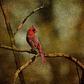 Cardinal IIi by Jai Johnson