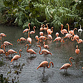 Caribbean Flamingos At The Zoo by Joel Sartore