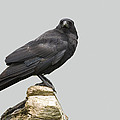 Carrion Crow by Power And Syred