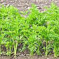 Carrot Crop by Tom Gowanlock