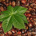 Castor Bean Leaf And Seeds by Ted Kinsman