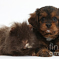 Cavapoo Pup And Shaggy Guinea Pig by Mark Taylor