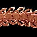 Centipede Underside, Sem by Steve Gschmeissner