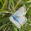 Chalkhill Blue Butterfly by Adrian Bicker