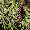 Chamecyparis Lawsoniana by Adrian Bicker
