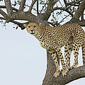 Cheetah Acinonyx Jubatus Female by Suzi Eszterhas