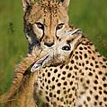 Cheetah Acinonyx Jubatus With Its Kill by Suzi Eszterhas