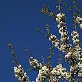 Cherry Blossom by Odon Czintos