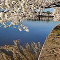 Cherry Blossoms by Brian Jannsen