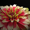 Cherry Vanilla by Debbie Portwood