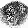 Chimpanzee by Granger