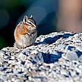 Chipmunk by Elijah Weber
