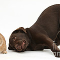 Chocolate Lab & Netherland-cross Rabbit by Mark Taylor