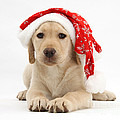 Christmas Puppy by Mark Taylor