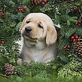Christmas Puppy by Ron Dahlquist - Printscapes