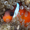 Cinnamon Clownfish In Its Host Anemone by Terry Moore