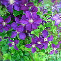 Clematis In Bloom by Nancy Patterson