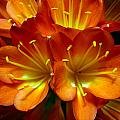 Clivia Bloom by PIXELS  XPOSED Ralph A Ledergerber Photography