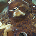 Close-up View Of A Common Octopus by Steve Jones
