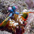 Close-up View Of A Mantis Shrimp, Papua by Steve Jones