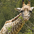 Close View Of A Giraffe by Stacy Gold