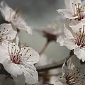 Close View Of Cherry Blossoms by Darlyne A. Murawski