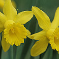 Close View Of Early Spring Daffodils by Darlyne A. Murawski