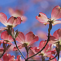 Close View Of Pink Dogwood Blossoms by Darlyne A. Murawski