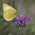 Clouded Yellow Butterfly by Cathie Douglas