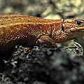 Common Lizard by Gavin Macrae