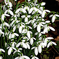 Common Snowdrop (galanthus Nivalis) by Dr Keith Wheeler