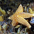 Common Starfish Feeding by Alexander Semenov