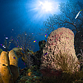Coral And Sponge Reef, Belize by Todd Winner