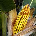 Corn Cob by Carlos Caetano