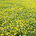 Corn Marigolds (chrysanthemum Segetum) by Adrian Bicker